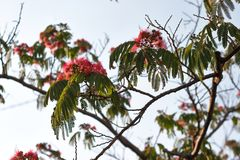 Blossoming tropical acacia Albizia julibrissin Royalty Free Stock Images