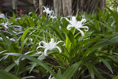 The blossoming tropical plant. With white flowers Royalty Free Stock Image