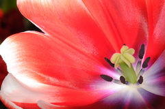 Blossoming tulip Stock Photography