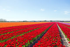 Blossoming tulip field in the countryside from Netherlands. Blossoming tulip field in the countryside from the Netherlands Royalty Free Stock Image