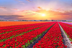 Blossoming tulip fields in a dutch landscape in the Ne Stock Image