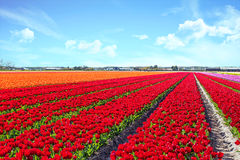 Blossoming tulip fields in a dutch landscape in the Netherlands Royalty Free Stock Images