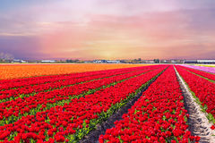 Blossoming tulip fields in a dutch landscape at sunset in Netherlands. Blossoming tulip fields in a dutch landscape at sunset in the Netherlands Royalty Free Stock Photos