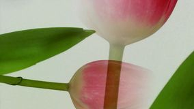 Blossoming tulip in white background. And move stock footage