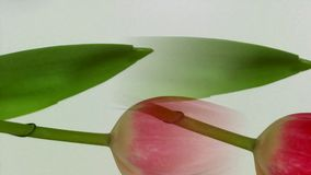 Blossoming tulip in white background. And move stock video