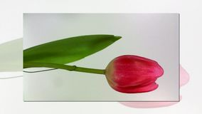 Blossoming tulip in white background. And move stock video footage