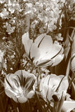 Blossoming Tulips Royalty Free Stock Photography