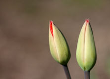 Blossoming tulips. On a warm background Stock Photography