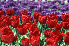 Blossoming tulips Royalty Free Stock Photos