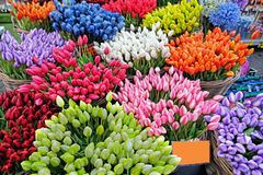 Blossoming tulips from Amsterdam Netherlands stock image