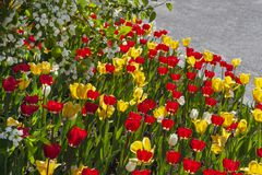 Yellow and red tulips and a blooming apple tree. royalty free stock images
