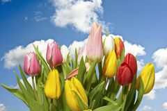 Blossoming tulips and a blue sky Royalty Free Stock Photo