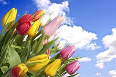 Blossoming tulips and a blue sky Stock Photography