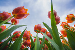 Blossoming tulips with blue sky as background Stock Photography