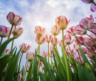 Blossoming tulips with blue sky as background Royalty Free Stock Images