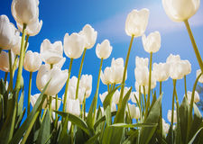 Blossoming tulips with blue sky as background Stock Image
