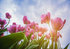 Blossoming tulips with blue sky as background Royalty Free Stock Photo