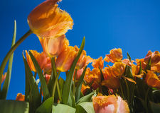 Blossoming tulips with blue sky as background Stock Images