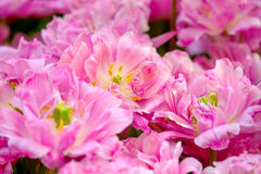 Blossoming tulips close up background Stock Image