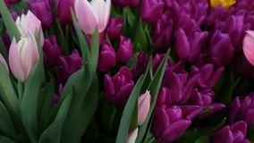 Blossoming tulips close up background. Blossoming fresh tulips macro background stock footage