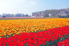 Blossoming tulips in the countryside from  Netherlands Stock Photos