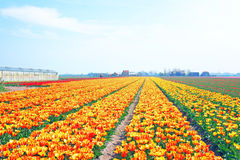 Blossoming tulips in the countryside from Netherlands Stock Image