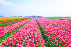 Blossoming tulips in the countryside from Netherlands Royalty Free Stock Images