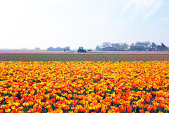 Blossoming tulips in the countryside from Netherlands Stock Photo