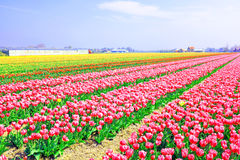 Blossoming tulips in the countryside from Netherlands Stock Photography