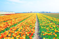 Blossoming tulips in the countryside from Netherlands Royalty Free Stock Photography