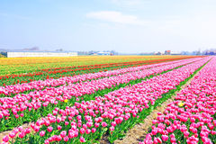 Blossoming tulips in the countryside from Netherlands Royalty Free Stock Image