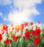Blossoming tulips Stock Photos