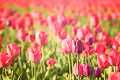 Blossoming tulips in field on sunny day. Blossoming tulips in field on sunny spring day Stock Images