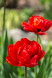 Blossoming tulips in the garden Stock Images
