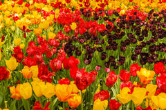 The blossoming of tulips in a park Stock Images