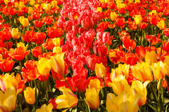 The blossoming of tulips in a park Royalty Free Stock Image