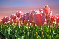 Blossoming tulips in spring in the countryside from the Netherlands Royalty Free Stock Images