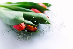 Blossoming tulips on a white background. Isolate, the concept of spring Stock Photography