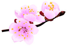 Blossoming twig. Of spring fruit tree isolated on white (rasterize from vector Royalty Free Stock Photography