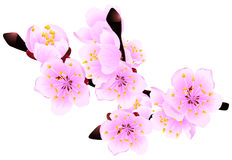 Blossoming twig. Of spring fruit tree isolated on white (rasterize from vector Royalty Free Stock Images