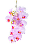 Blossoming twig of beautiful gentle lilac orchid, phalaenopsis i Stock Photography