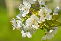 Blossoming twig of Cherry or bird Cherry lat. Prunus avium in spring garden Royalty Free Stock Image