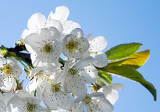 Blossoming twig of cherry-tree Stock Images