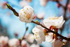 Blossoming twig of cherry-tree against the background of the blue sky.  Spring flowers blossom background. stock photo