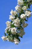 Blossoming twig of jasmine against a blue sky. vertical Royalty Free Stock Image