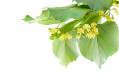 Blossoming twig of limetree or linden tree Stock Image