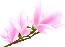 Blossoming twig of magnolia-tree. (rasterize from vector Stock Images
