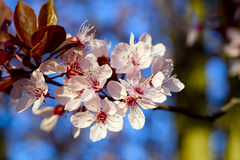 Blossoming twig of spring inflorescence gentle and life affirmin Stock Photography