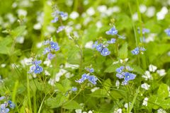 Blossoming veronica with blue flowers. Delicate blue flowers of wild veronica blossoming in a summer field or on a meadow stock images