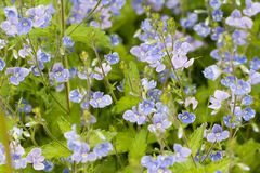 Blossoming veronica with blue flowers. Delicate blue flowers of wild veronica blossoming in a summer field or on a meadow stock photo